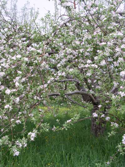 Apple Blossoms in Meaford