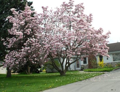magnolias in meaford