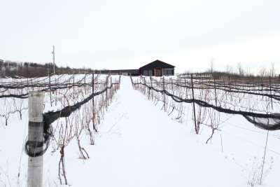 Coffin Ridge vineyard in winter