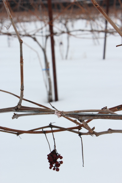 Coffin Ridge winter grapes